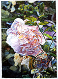 Roses Reverie - watercolor on paper painting by Joseph Raffael