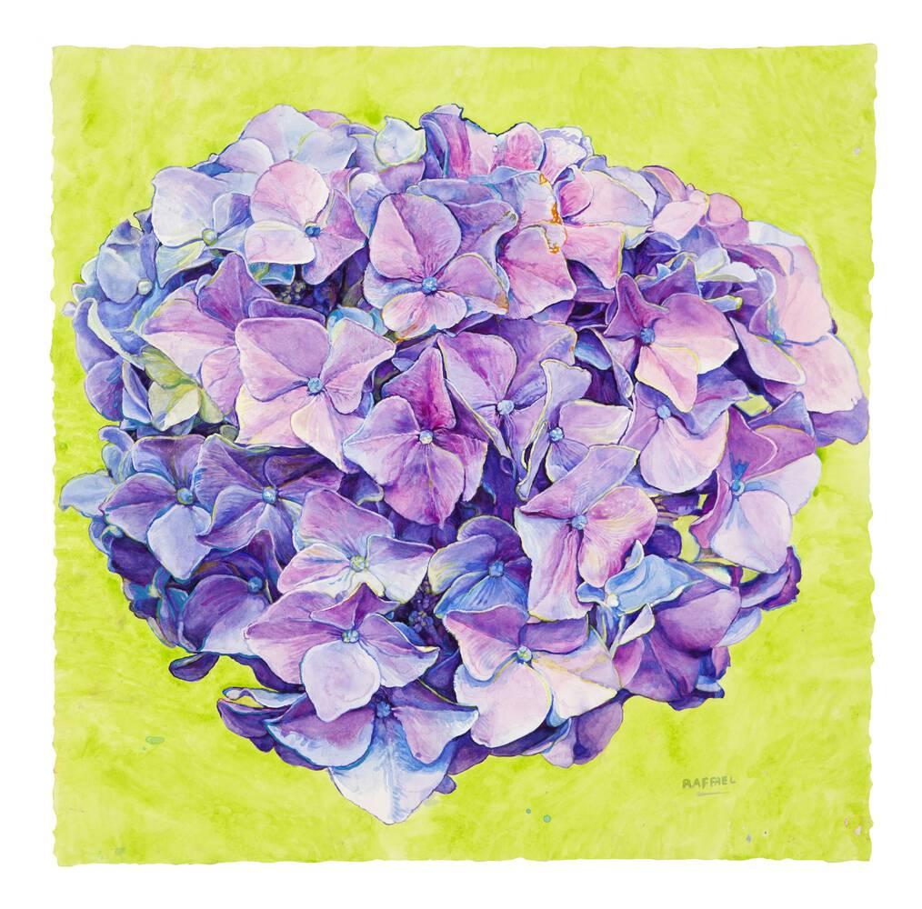Hydrangea - watercolor on paper by Joseph Raffael