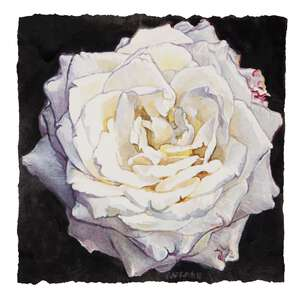Winter Rose - watercolor on paper painting by Joseph Raffael
